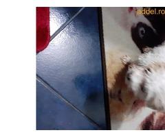 Eladó 8 hetes Bichon kiskutya