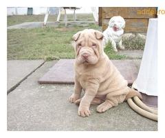 Shar-pei kiskutyák. Platina színűek, eladók! - Kép 2
