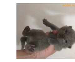 brit fajtatiszta cica eladó
