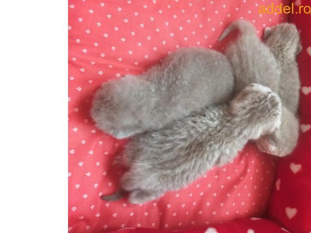 brit fajtatiszta cica eladó - 2