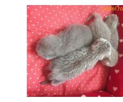 brit fajtatiszta cica eladó - Kép 2