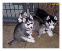 Szibériai husky kiskutya kapható