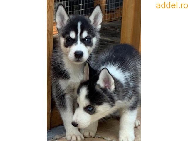 Szibériai husky kiskutya kapható - 2