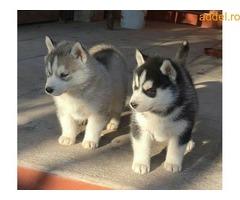 Szibériai husky kiskutya kapható - Kép 3